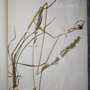 Photographie n°768008 du taxon Festuca pratensis Huds. [1762]