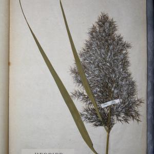 Photographie n°768013 du taxon Phragmites communis Trin. [1820]
