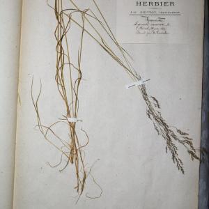 Photographie n°768036 du taxon Agrostis canina L. [1753]