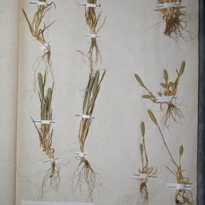 Photographie n°768038 du taxon Phleum arenarium L. [1753]