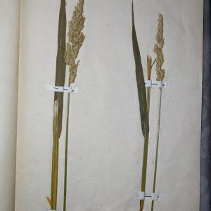 Photographie n°768042 du taxon Phalaris arundinacea L. [1753]