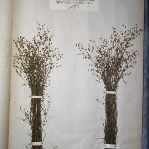 Photographie n°768050 du taxon Juncus tenageia Ehrh.