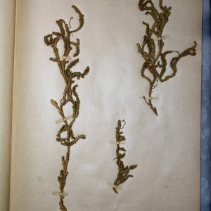 Photographie n°768088 du taxon Lycopodium clavatum L. [1753]