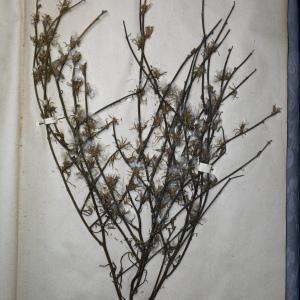 Photographie n°768176 du taxon Chondrilla juncea L. [1753]
