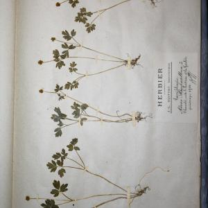 Photographie n°768201 du taxon Adoxa moschatellina L. [1753]