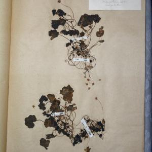 Photographie n°768214 du taxon Linaria cymbalaria (L.) Mill. [1768]