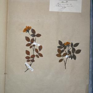 Photographie n°768257 du taxon Rosa canina L. [1753]