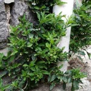 Photographie n°768262 du taxon Solanum pseudocapsicum L.