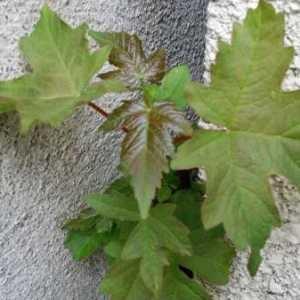 Photographie n°768263 du taxon Acer pseudoplatanus L.