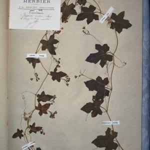 Photographie n°768283 du taxon Bryonia dioica Jacq. [1774]