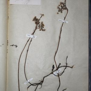 Photographie n°768292 du taxon Sedum reflexum L. [1755]