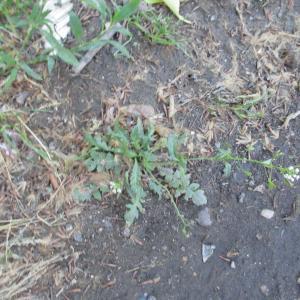 Photographie n°768817 du taxon Capsella bursa-pastoris (L.) Medik.