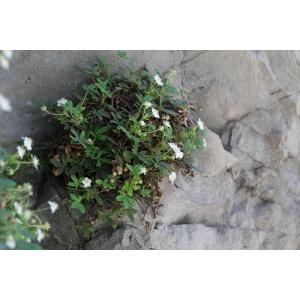 Potentilla saxifraga Ardoino ex De Not. (Potentille saxifrage)