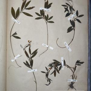 Photographie n°769901 du taxon Orobus tuberosus L.