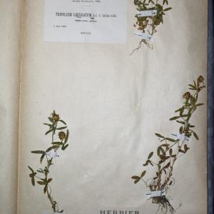 Photographie n°769905 du taxon Trifolium strictum L. [1755]