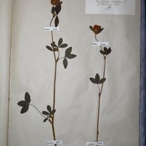 Photographie n°769908 du taxon Trifolium pratense L. [1753]
