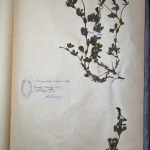 Photographie n°769917 du taxon Tetragonolobus siliquosus Roth [1788]