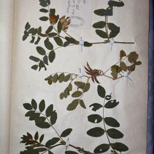 Photographie n°769919 du taxon Astragalus L.