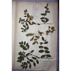 Astragalus sp.