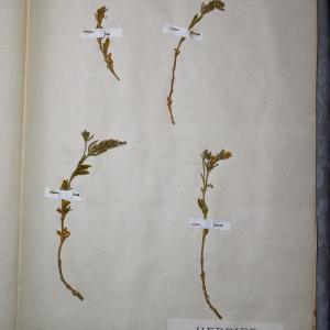 Photographie n°769935 du taxon Silene gallica L. [1753]