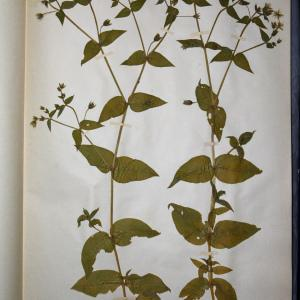 Photographie n°769949 du taxon Malachium aquaticum (L.) Fr. [1817]