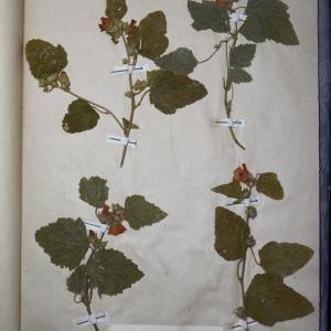 Photographie n°769963 du taxon Malva officinalis (L.) Schimp. & Spenn. [1829]