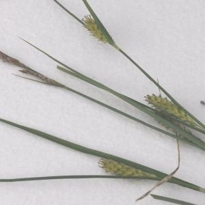 Photographie n°770169 du taxon Carex hirta L. [1753]