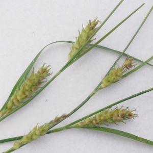 Photographie n°770170 du taxon Carex hirta L. [1753]