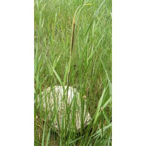 Typha domingensis (Pers.) Steud. (Massette australe)