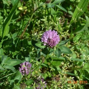 Photographie n°770314 du taxon Trifolium pratense L. [1753]