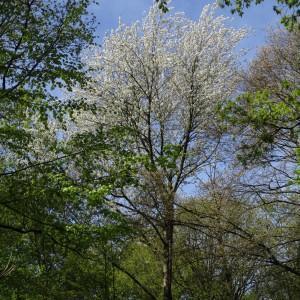 Photographie n°770918 du taxon Prunus avium (L.) L. [1755]