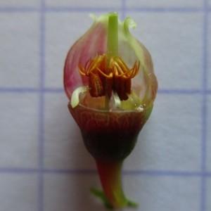 Photographie n°770926 du taxon Vaccinium myrtillus L. [1753]