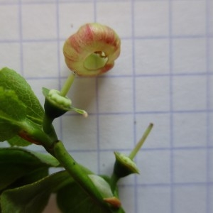 Photographie n°770927 du taxon Vaccinium myrtillus L. [1753]