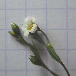 Photographie n°770963 du taxon Linum catharticum L. [1753]
