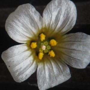 Photographie n°770964 du taxon Linum catharticum L. [1753]