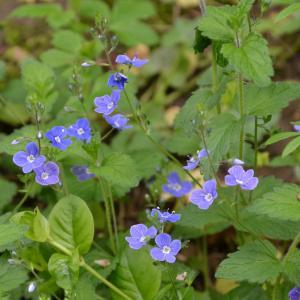 Photographie n°771371 du taxon Veronica chamaedrys L. [1753]