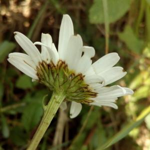 Photographie n°771393 du taxon Leucanthemum ircutianum subsp. crassifolium (Lange) Vogt [1991]