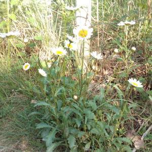 Photographie n°771399 du taxon Leucanthemum ircutianum subsp. crassifolium (Lange) Vogt [1991]