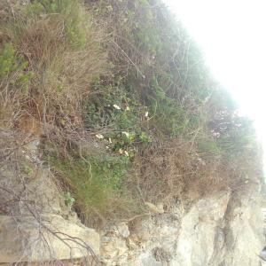 Photographie n°771415 du taxon Leucanthemum ircutianum subsp. crassifolium (Lange) Vogt [1991]
