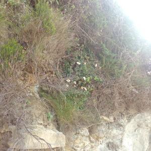 Photographie n°771416 du taxon Leucanthemum ircutianum subsp. crassifolium (Lange) Vogt [1991]