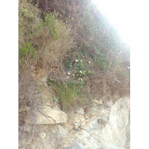 Leucanthemum crassifolium (Lange) Lange (Marguerite à feuilles charnues)