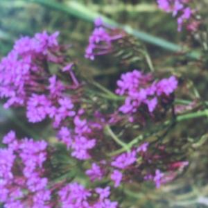 Photographie n°771747 du taxon Centranthe lilas-d'Espagne