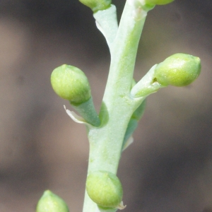 Photographie n°771801 du taxon Fumaria parviflora Lam. [1788]