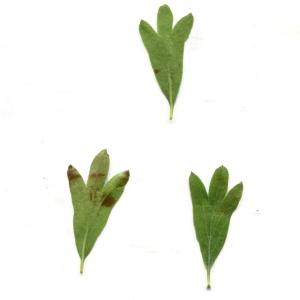 Photographie n°771998 du taxon Crataegus azarolus L. [1753]