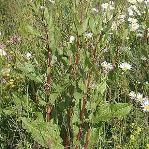 Photographie n°772032 du taxon Rumex à feuilles obtuses