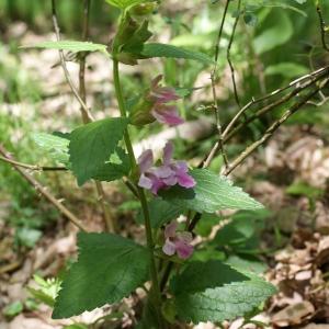 Photographie n°772313 du taxon Melittis melissophyllum L. [1753]
