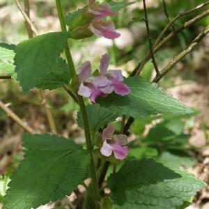 Photographie n°772314 du taxon Melittis melissophyllum L. [1753]