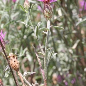 Photographie n°772356 du taxon Centaurea paniculata L. [1753]