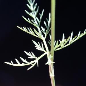 Photographie n°772660 du taxon Conopodium majus (Gouan) Loret