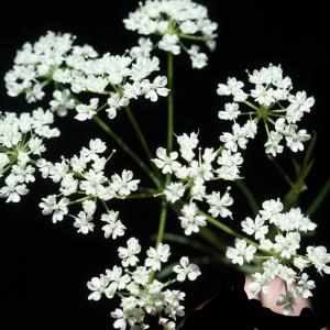 Photographie n°772663 du taxon Conopodium majus (Gouan) Loret